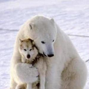 Ice bear and wolf