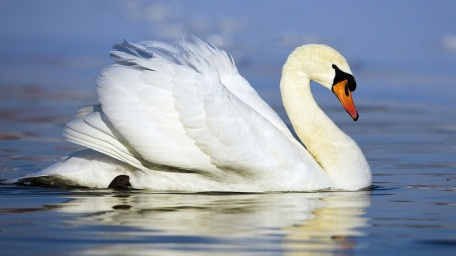 white-swan-swimming-in-the-water-swans-HD